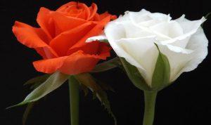 5 loại hoa ý nghĩa để tặng cha mẹ trong mùa lễ Vu Lan