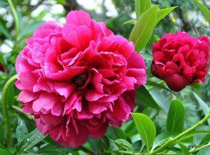 Hoa mẫu đơn - Loài hoa của sự vương giả