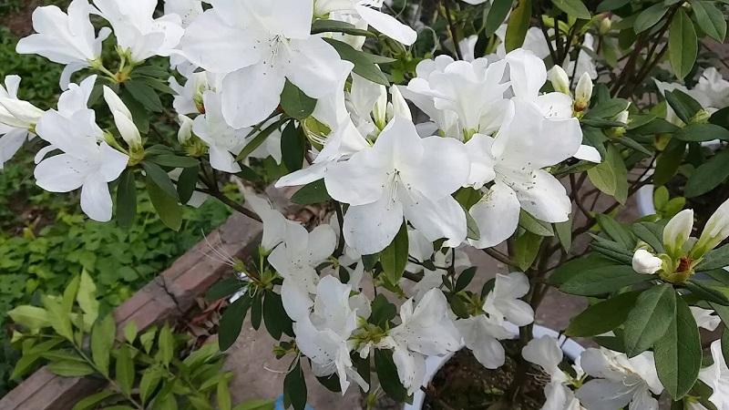 Ý nghĩa của những bông hoa đỗ quyên